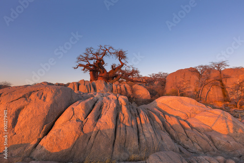 Poster Baobab Baobab and rocks in early morning light
