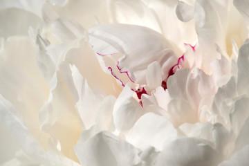 FototapetaCloseup of the petals of a white peony