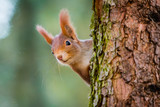 Fototapeta Animals - Curious red squirrel peeking behind the tree trunk