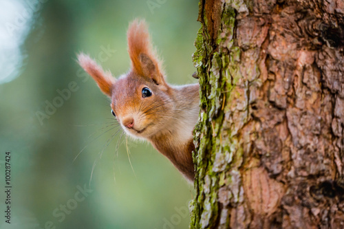 Spoed Foto op Canvas Eekhoorn Curious red squirrel peeking behind the tree trunk