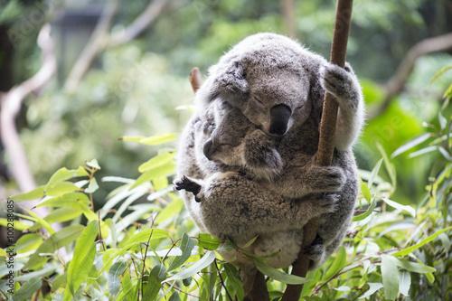 Garden Poster Koala Koala and her joey