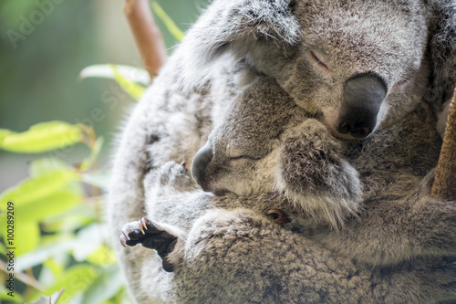Mother and joey koala cuddling