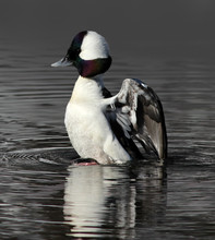 Bufflehead Duck Raising Out Of The Water