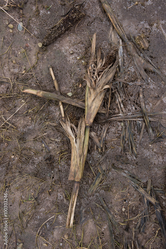 Poster Chasse Dead rotting corn plants on and icy cold field. Harsh winter kills crops