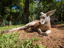 Australian Kangaroo Relaxing In The Sunshine