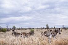 Plains Zebra In Kruger Nationa...