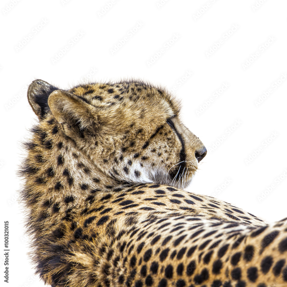 Cheetah portrait isolated in white background