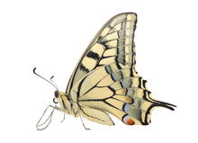Close Up Of Papilio Machaon Bu...