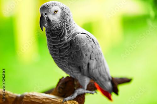 Tuinposter Papegaai Birds, Animals. Closeup Portrait Of African Grey Parrot ( Psittacus Erithacus ) Or Jako. Travel To Thailand, Asia. Tourism.