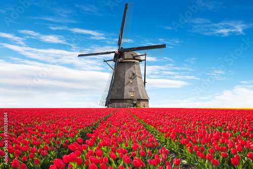 Fotografie, Obraz  Vibrant tulips field with Dutch windmill