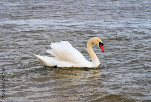 Foto auf Acrylglas Schwan Beautiful white Swan swimming in lake.