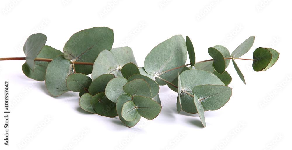 Fototapeta Feuilles d'eucalyptus gunnii