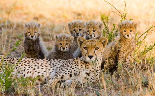 Fényképezés Mother cheetah and her cubs in the savannah