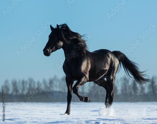 Obrazy na płótnie Canvas Pure Bred Spanish black stallion trotting on snow meadow