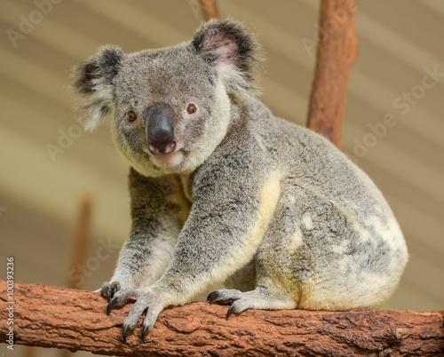 Garden Poster Koala Curious koala looks into the camera
