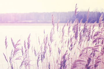 Vintage toned reed by a lake, nature background.