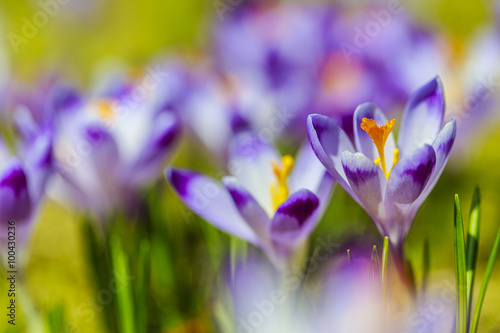 Fotobehang Krokussen Crocuses in the Tatra Mountain, first springtime flowers