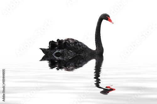 In de dag Zwaan black swan