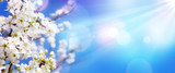 Fototapeta Kwiaty - Spring Blooming - White Blossoms And Sunlight In The Sky