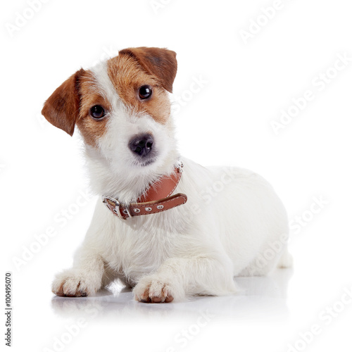 Foto  The small doggie of breed a Jack Russell Terrier