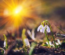 Spring Snowdrop Flowers Bloomi...