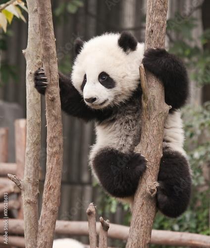 Fotobehang Panda Giant panda baby