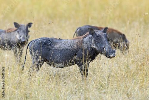 Photo  Warthog in tropical Kenya