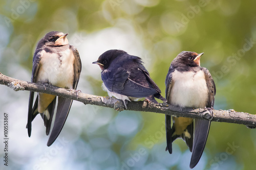 young swallows sitting on a branch Poster