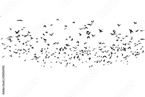 flock of birds isolated on white background, with clipping path, Rook (Corvus fr Wallpaper Mural