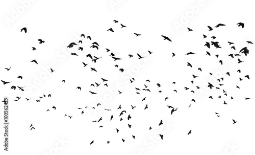 Poster Vogel flock of birds isolated on white background, with clipping path, Rook (Corvus frugilegus)
