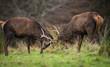 Red deer fighting during mating season