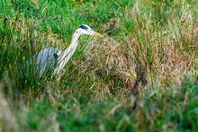 An Heron In The Field