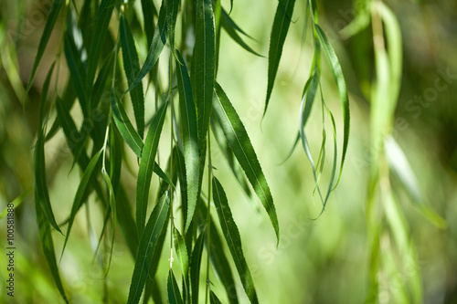Tablou Canvas weeping willow background