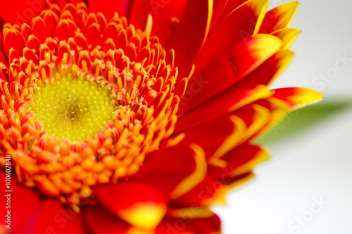 fototapeta na szkło Red gerbera macro out of a bouquet