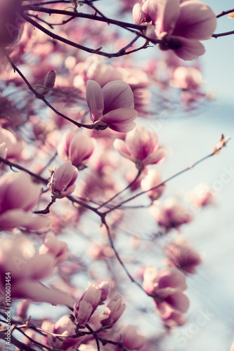 Beautiful pink magnolia flowers
