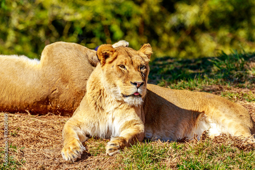 Lioness resting on grass Poster