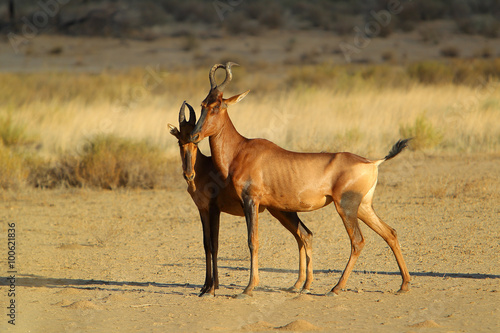Poster Antilope bawolec rudy (Alcelaphus caama), kama na Pustyni Kalahari