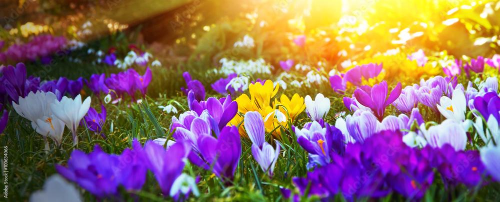Fototapeta Krokusse in der Frühlingsonne