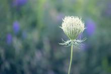 Single Queen Anne's Lace Flower