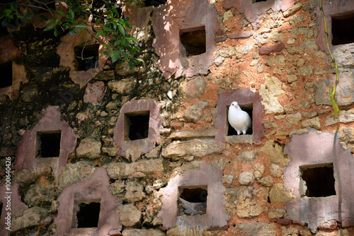 pigeon in ancient stone wall, Puerto Rico