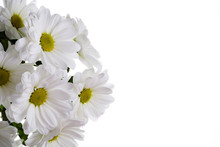 White Oxeye Daisy Flowers Bouquet Isolated On White.