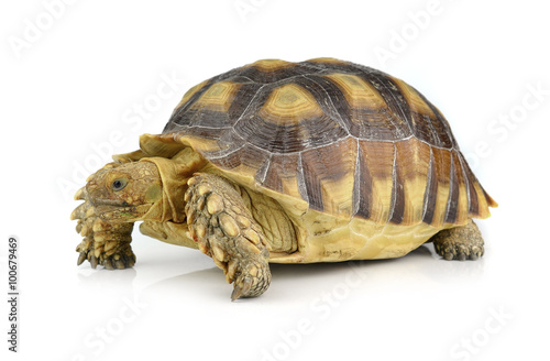 Poster Tortue turtle isolated on white background