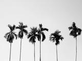Palmy kokosowe - 100697414