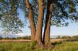 Okazałe drzewo i trzy grube pnie