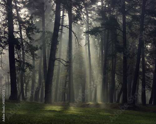 Foto op Plexiglas Landschappen Misty autumn forest with pine trees