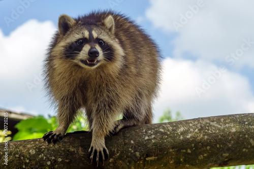Carta da parati A raccoon walking on tree branch during a fine sunny day
