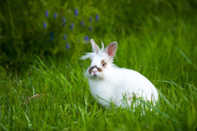 White Baby Rabbit With Brown Spots On A Green Meadow