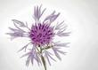 canvas print picture - einzelne violette Wiesenflockenblume auf Weiss
