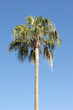 single palm tree isolated on blue sky