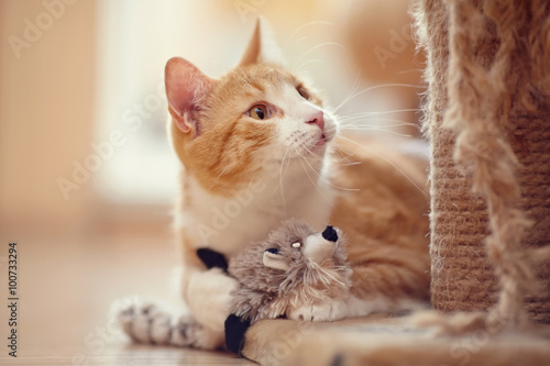 Foto op Aluminium Kat Portrait of a red domestic cat with a toy.